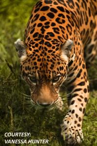 JaguarWcourtesy-199x300